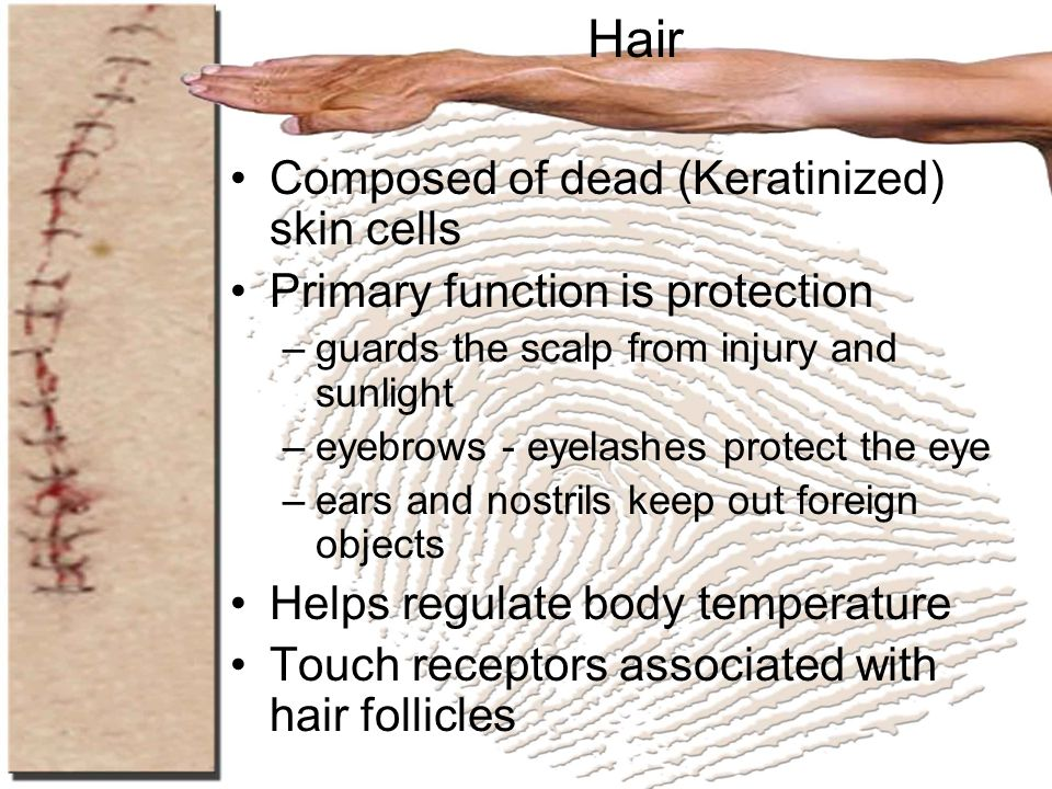 Hair Composed of dead (Keratinized) skin cells Primary function is protection –guards the scalp from injury and sunlight –eyebrows - eyelashes protect