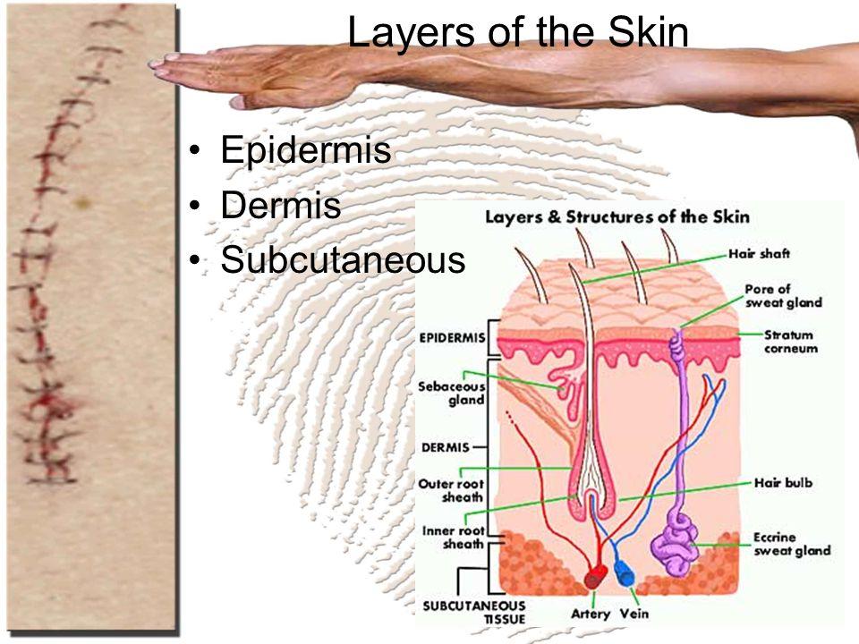 Layers of the Skin Epidermis Dermis Subcutaneous