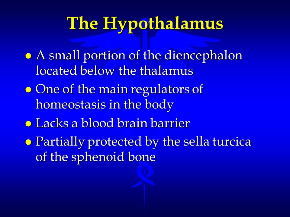 The Hypothalamus l A small portion of the diencephalon located below the thalamus l One of the main regulators of homeostasis in the body l Lacks a bl