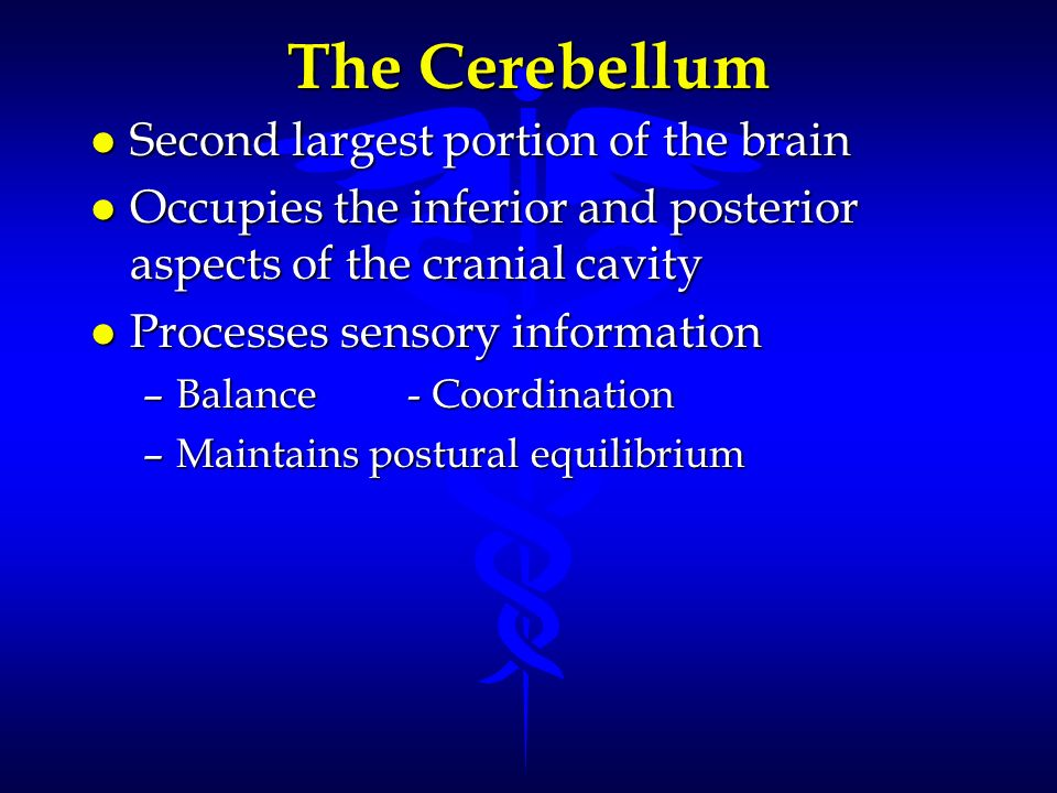 The Cerebellum l Second largest portion of the brain l Occupies the inferior and posterior aspects of the cranial cavity l Processes sensory informati