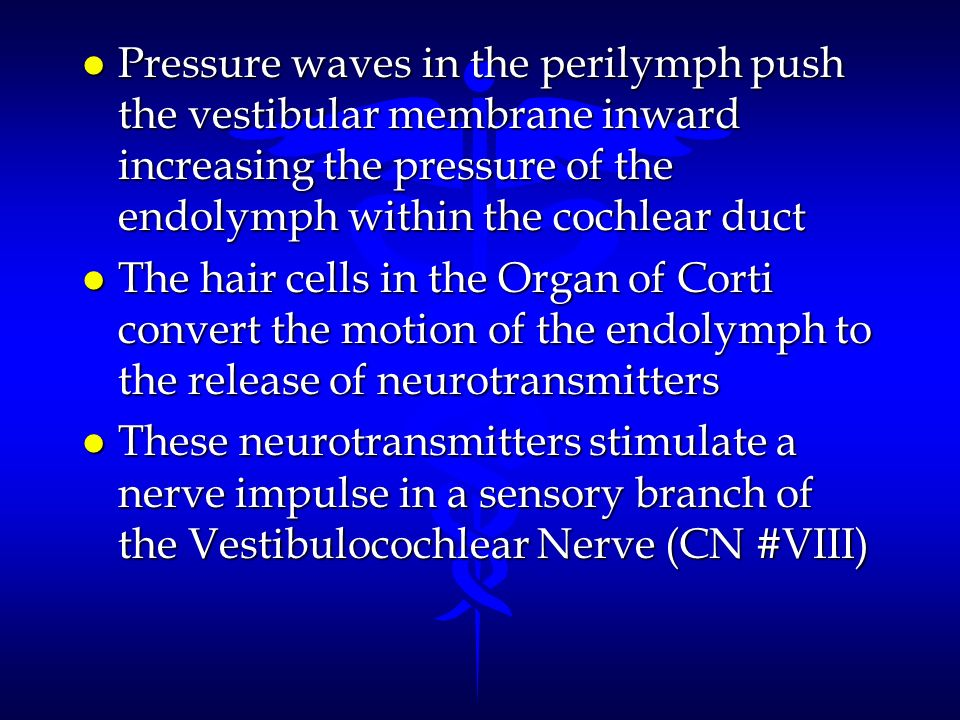l Pressure waves in the perilymph push the vestibular membrane inward increasing the pressure of the endolymph within the cochlear duct l The hair cel