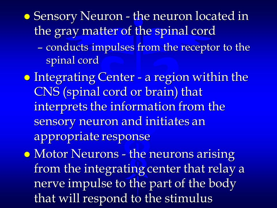 l Sensory Neuron - the neuron located in the gray matter of the spinal cord –conducts impulses from the receptor to the spinal cord l Integrating Cent