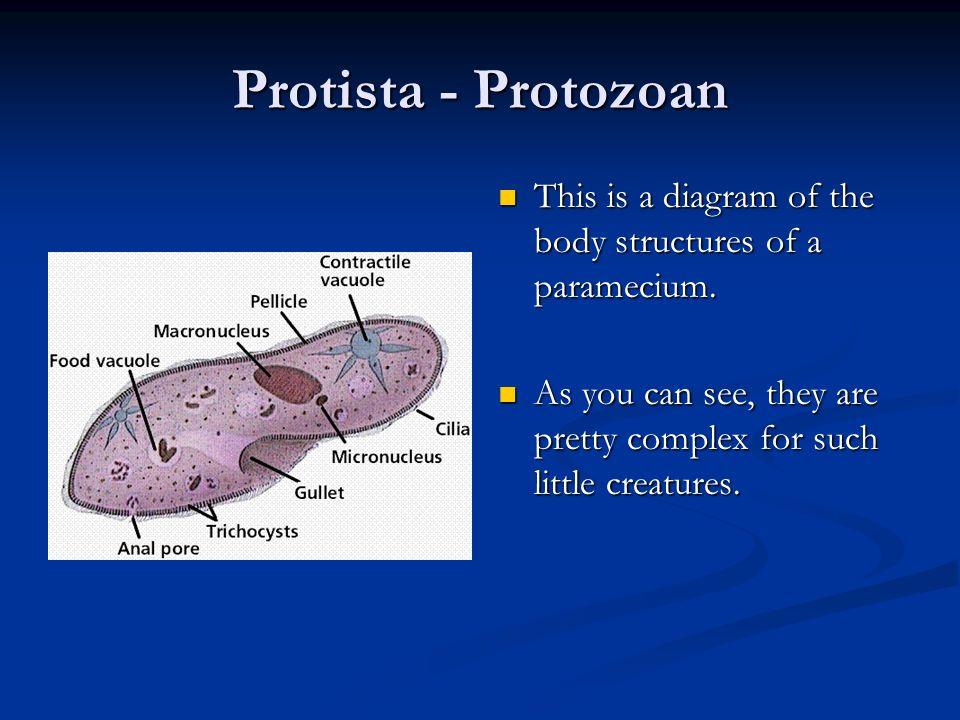 Protists - Protozoa Protozoans are microscopic protists that have several characteristics that are like animals. Protozoans are microscopic protists t