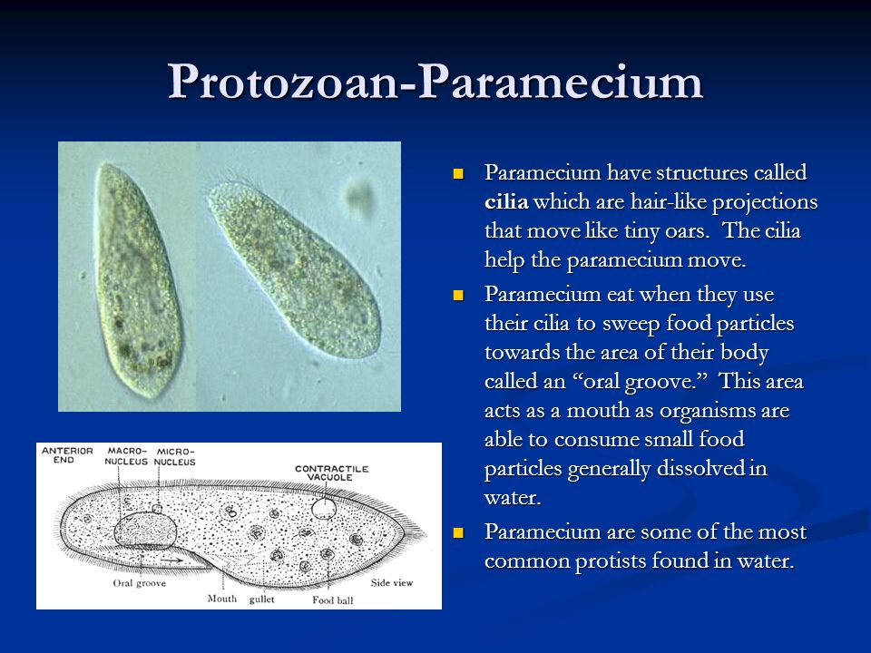 Protozoan-Ameba Amebas move and feed by forming pseudopods which are temporary bulges of the cell membrane that fill with cytoplasm. A pseudopod is al