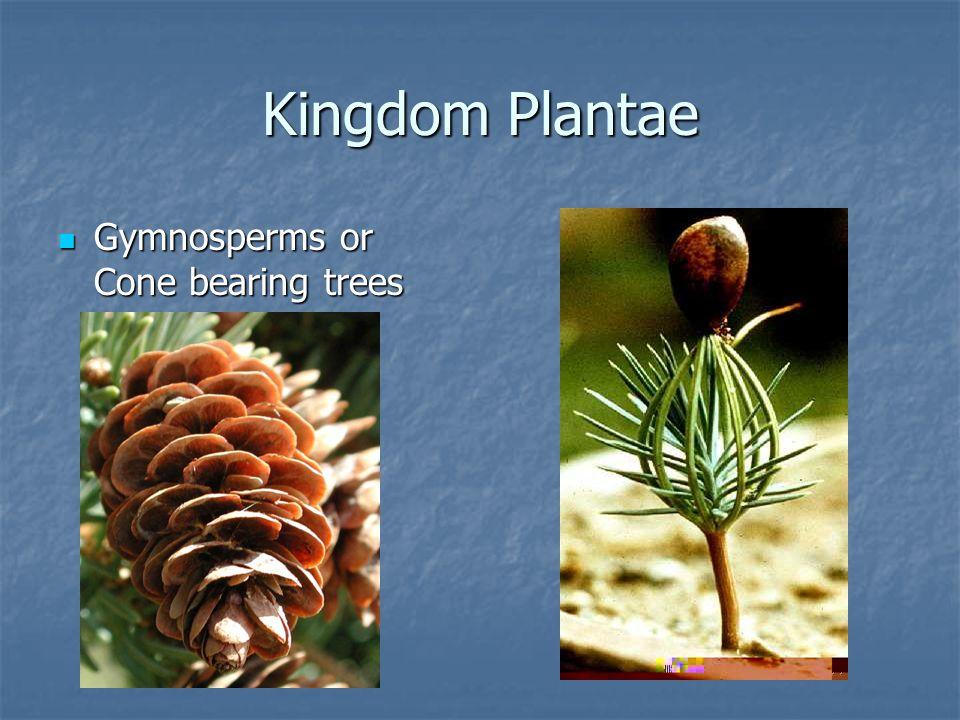 Kingdom Plantae Grasses Grasses