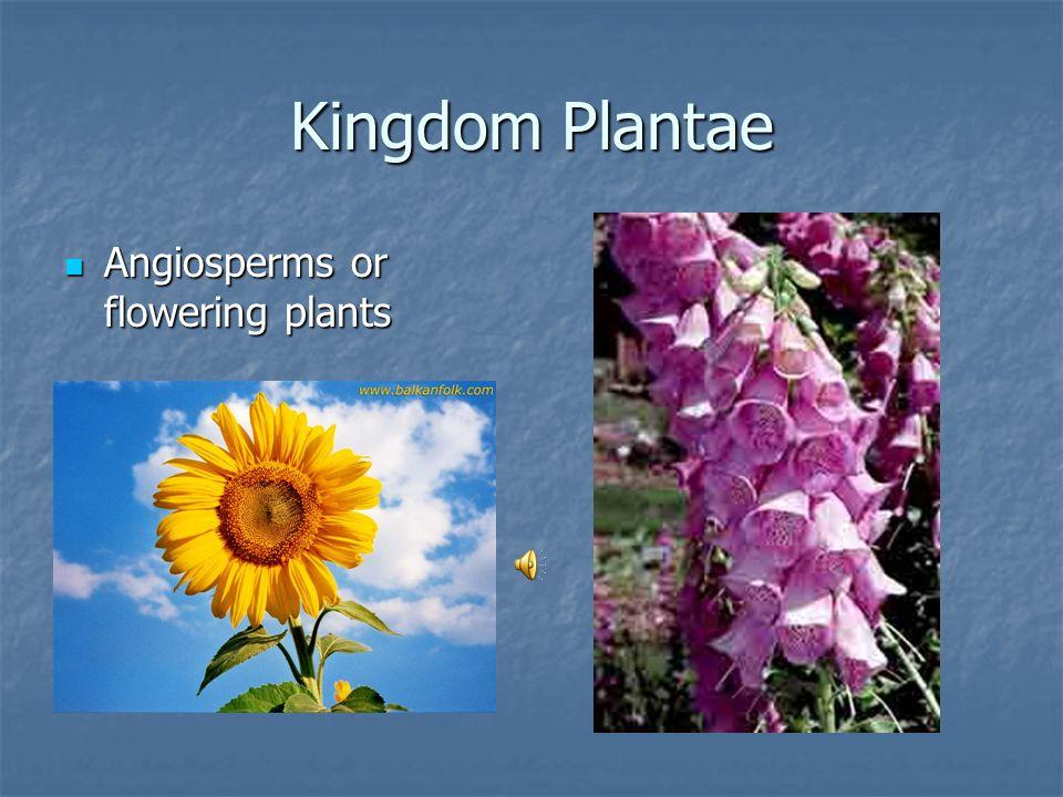 Kingdom Plantae Gymnosperms or Cone bearing trees Gymnosperms or Cone bearing trees