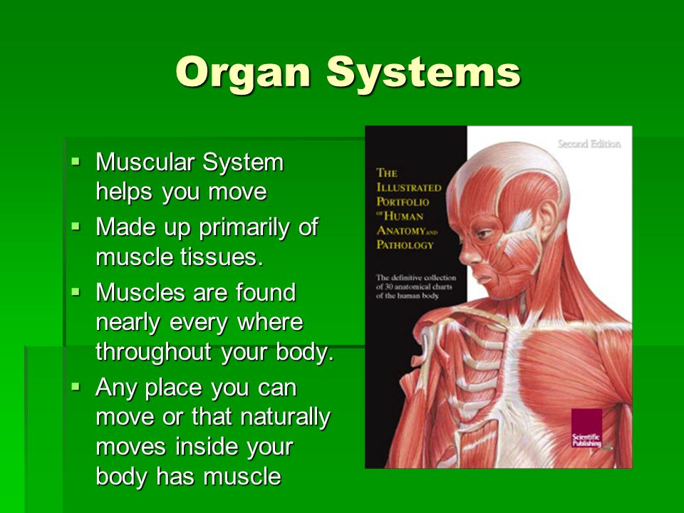 Organ Systems Muscular System helps you move Muscular System helps you move Made up primarily of muscle tissues. Made up primarily of muscle tissues.