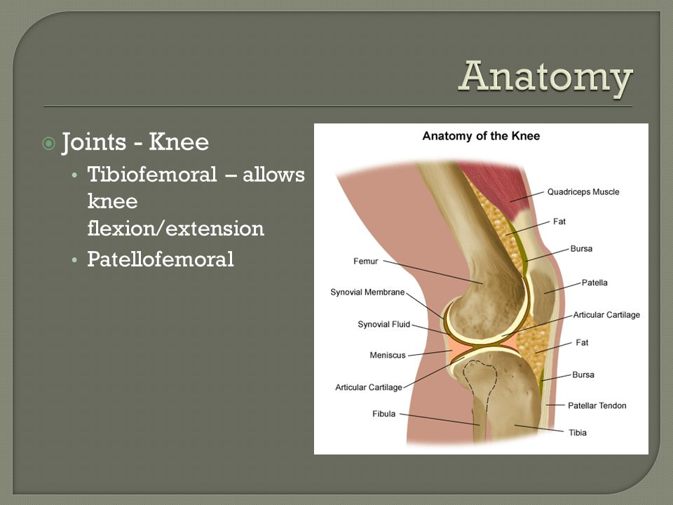Joints - Knee Tibiofemoral – allows knee flexion/extension Patellofemoral