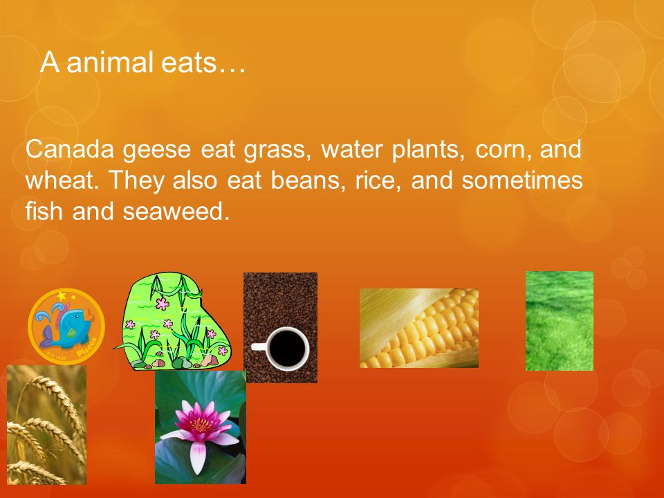 A animal eats… Canada geese eat grass, water plants, corn, and wheat.