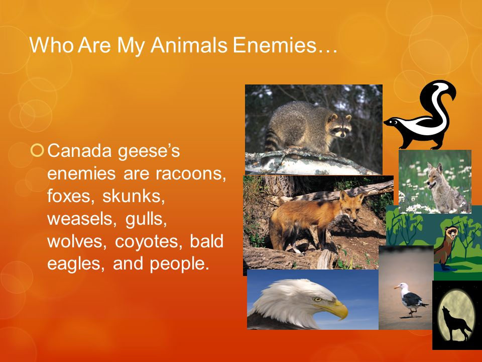 Who Are My Animals Enemies… Canada geeses enemies are racoons, foxes, skunks, weasels, gulls, wolves, coyotes, bald eagles, and people.