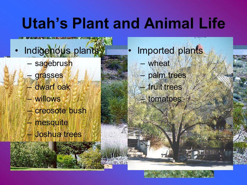 Indigenous plants –sagebrush –grasses –dwarf oak –willows –creosote bush –mesquite –Joshua trees Imported plants –wheat –palm trees –fruit trees –toma