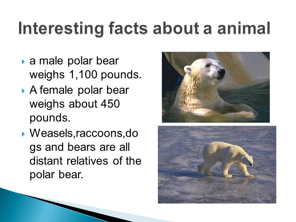 a male polar bear weighs 1,100 pounds. A female polar bear weighs about 450 pounds. Weasels,raccoons,do gs and bears are all distant relatives of the