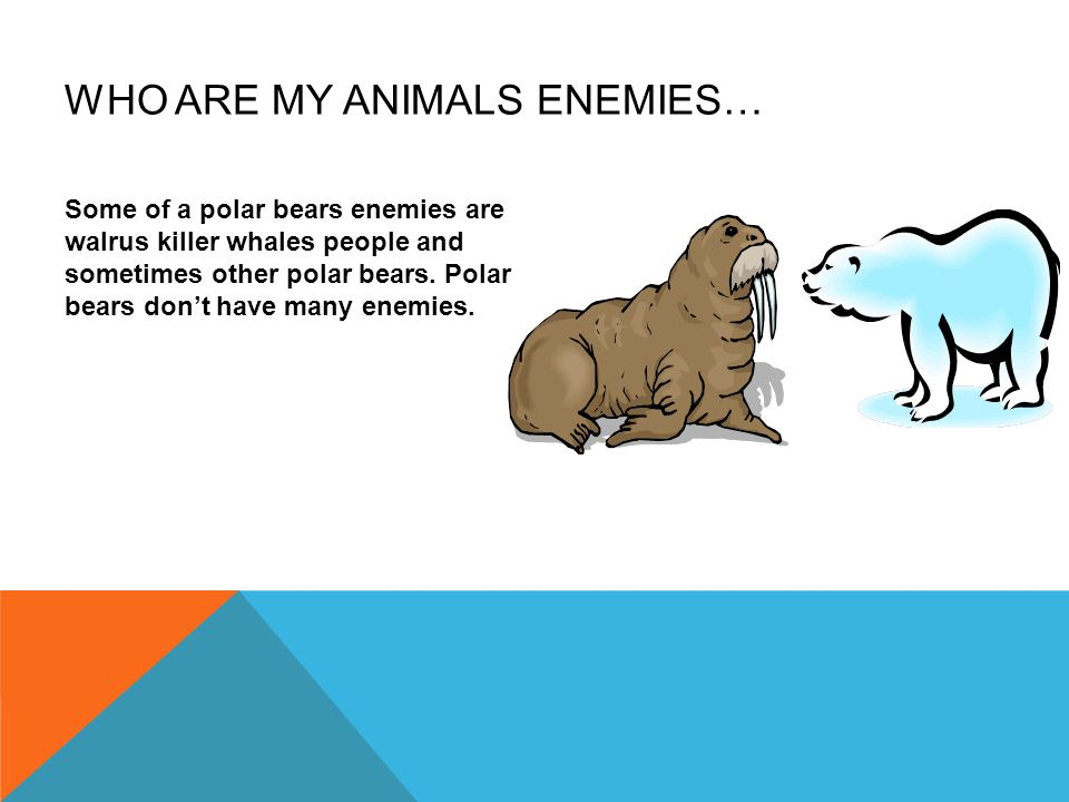 WHO ARE MY ANIMALS ENEMIES… Some of a polar bears enemies are walrus killer whales people and sometimes other polar bears. Polar bears dont have many