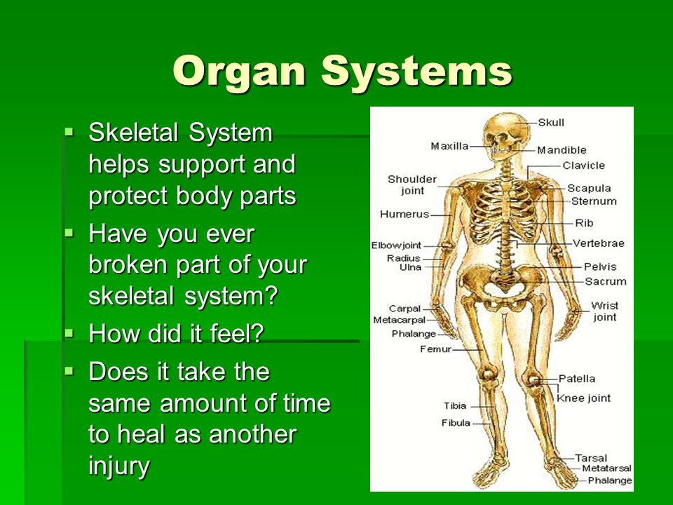 Organ Systems Skeletal System helps support and protect body parts Skeletal System helps support and protect body parts Have you ever broken part of y