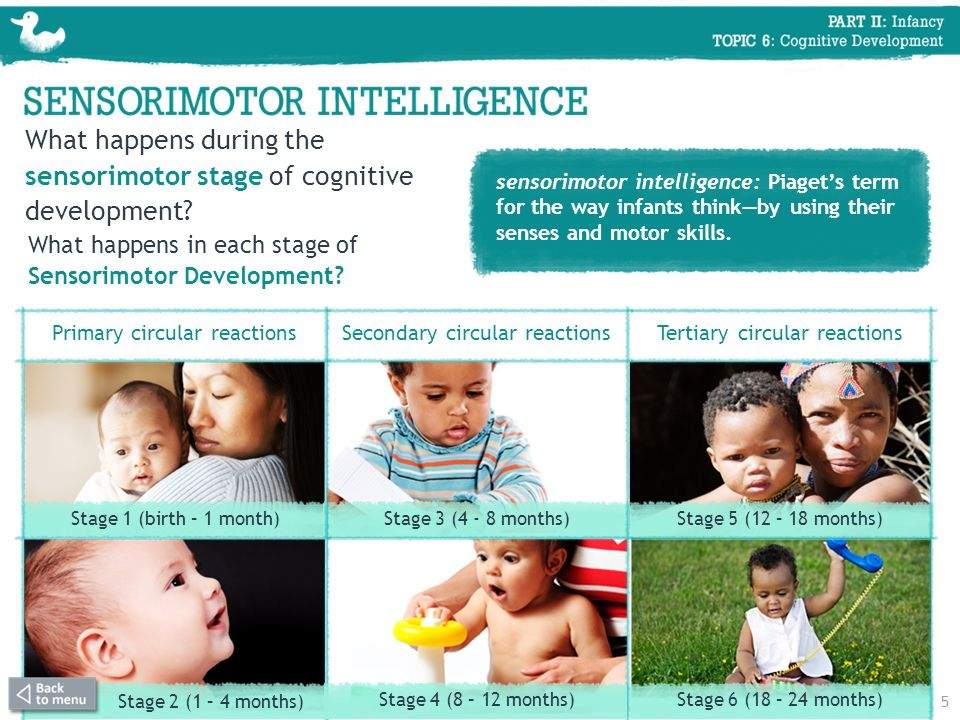 What happens during the sensorimotor stage of cognitive development? sensorimotor intelligence: Piagets term for the way infants thinkby using their s