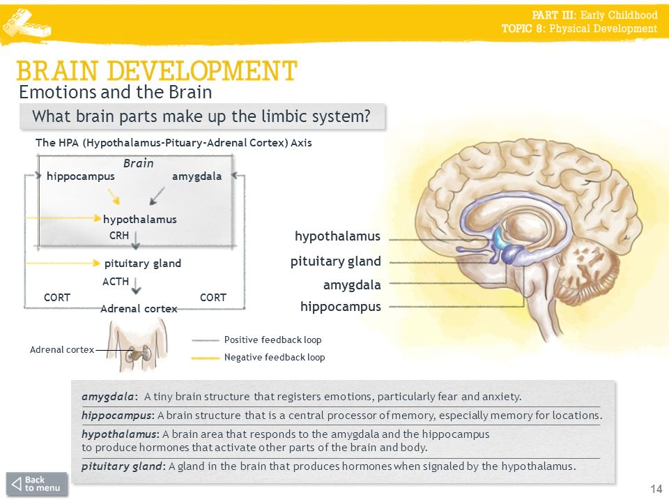 Emotions and the Brain What brain parts make up the limbic system.