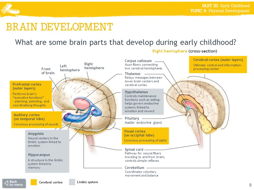 Prefrontal cortex (outer layers) What are some brain parts that develop during early childhood.
