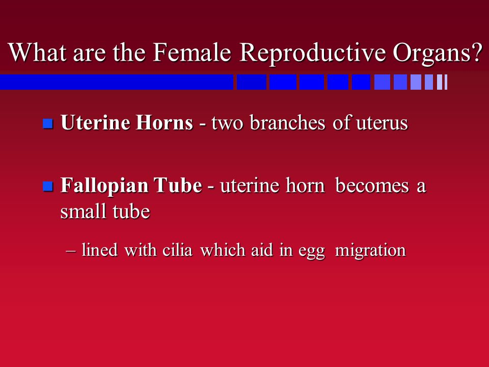 What are the Female Reproductive Organs? n Uterine Horns - two branches of uterus n Fallopian Tube - uterine horn becomes a small tube –lined with cil