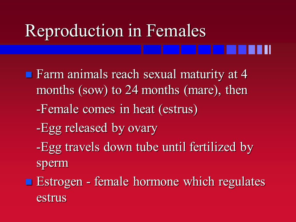 Reproduction in Females n Farm animals reach sexual maturity at 4 months (sow) to 24 months (mare), then -Female comes in heat (estrus) -Egg released
