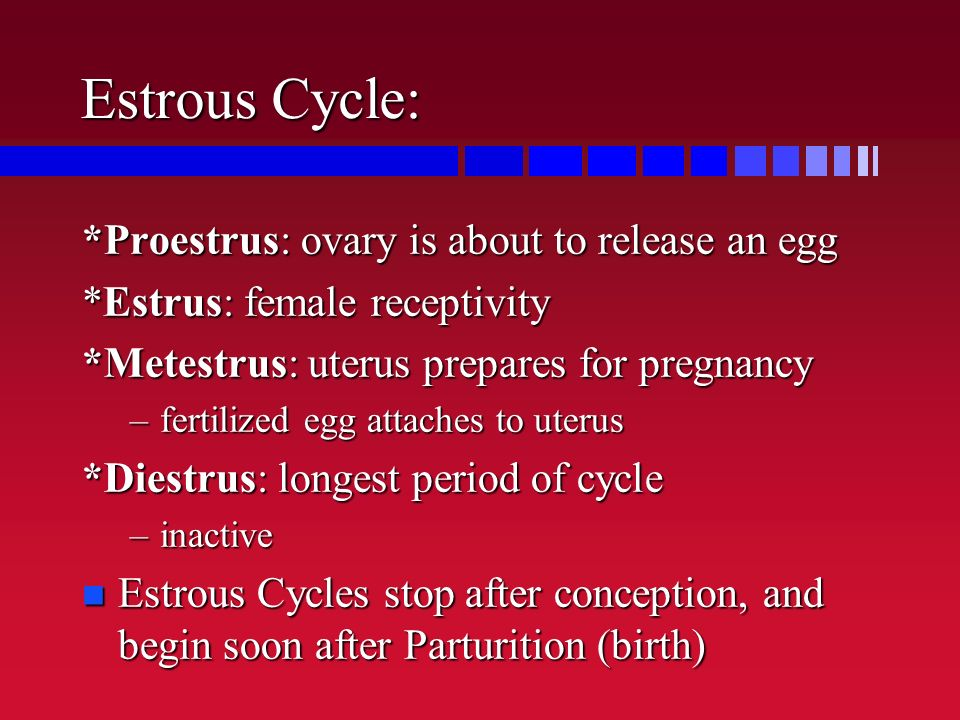 Estrous Cycle: *Proestrus: ovary is about to release an egg *Estrus: female receptivity *Metestrus: uterus prepares for pregnancy –fertilized egg attaches to uterus *Diestrus: longest period of cycle –inactive n Estrous Cycles stop after conception, and begin soon after Parturition (birth)