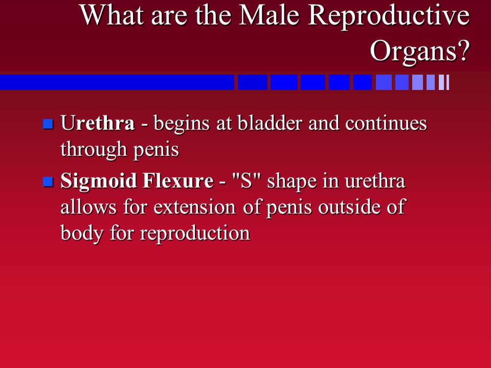 What are the Male Reproductive Organs? n Urethra - begins at bladder and continues through penis n Sigmoid Flexure -