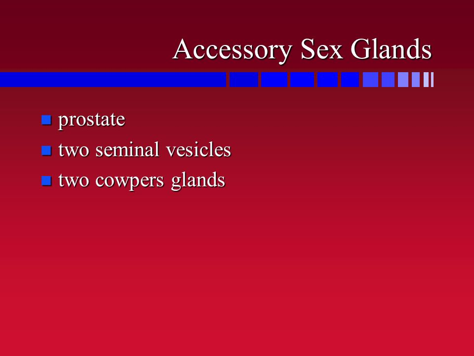 Accessory Sex Glands n prostate n two seminal vesicles n two cowpers glands