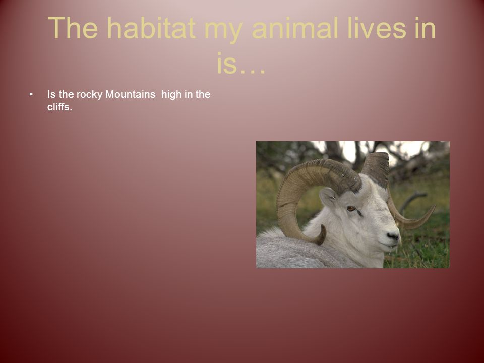 The habitat my animal lives in is… Is the rocky Mountains high in the cliffs.
