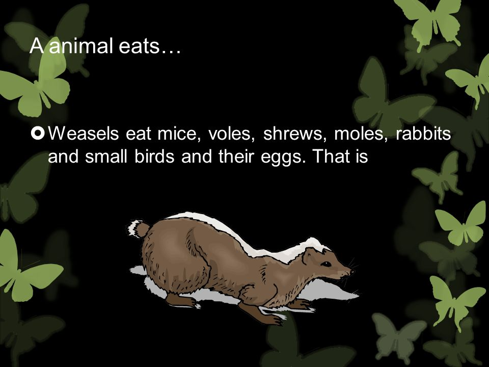 A animal eats… Weasels eat mice, voles, shrews, moles, rabbits and small birds and their eggs. That is