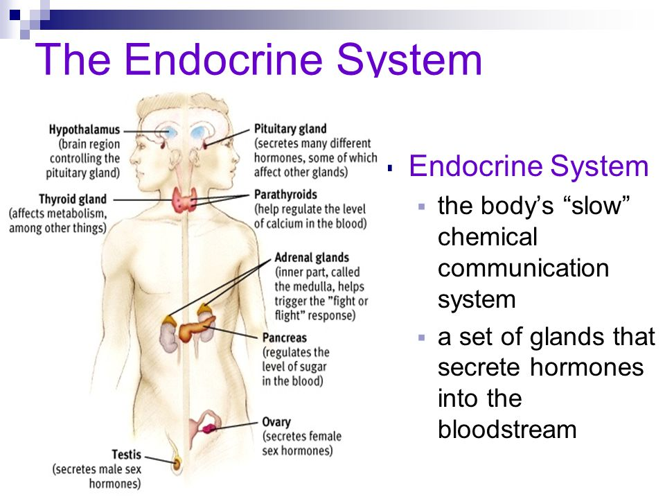 The Endocrine System Endocrine System the bodys slow chemical communication system a set of glands that secrete hormones into the bloodstream