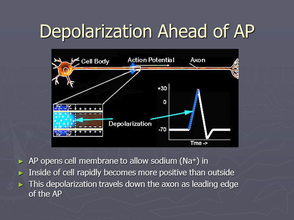 Depolarization Ahead of AP AP opens cell membrane to allow sodium (Na + ) in Inside of cell rapidly becomes more positive than outside This depolariza