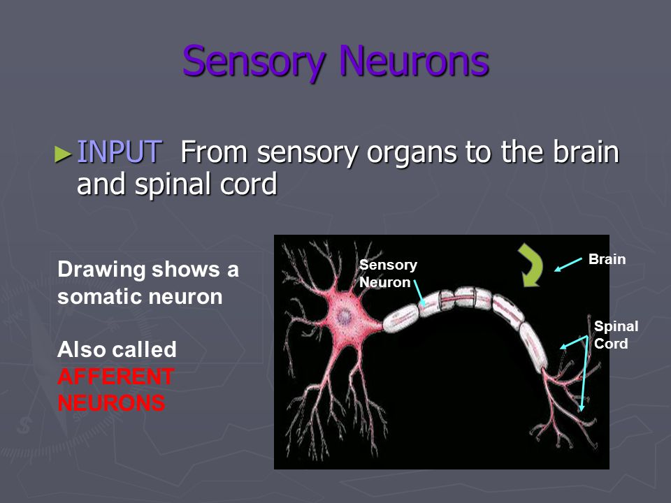 Spinal Cord Brain Sensory Neuron Sensory Neurons INPUT From sensory organs to the brain and spinal cord INPUT From sensory organs to the brain and spi