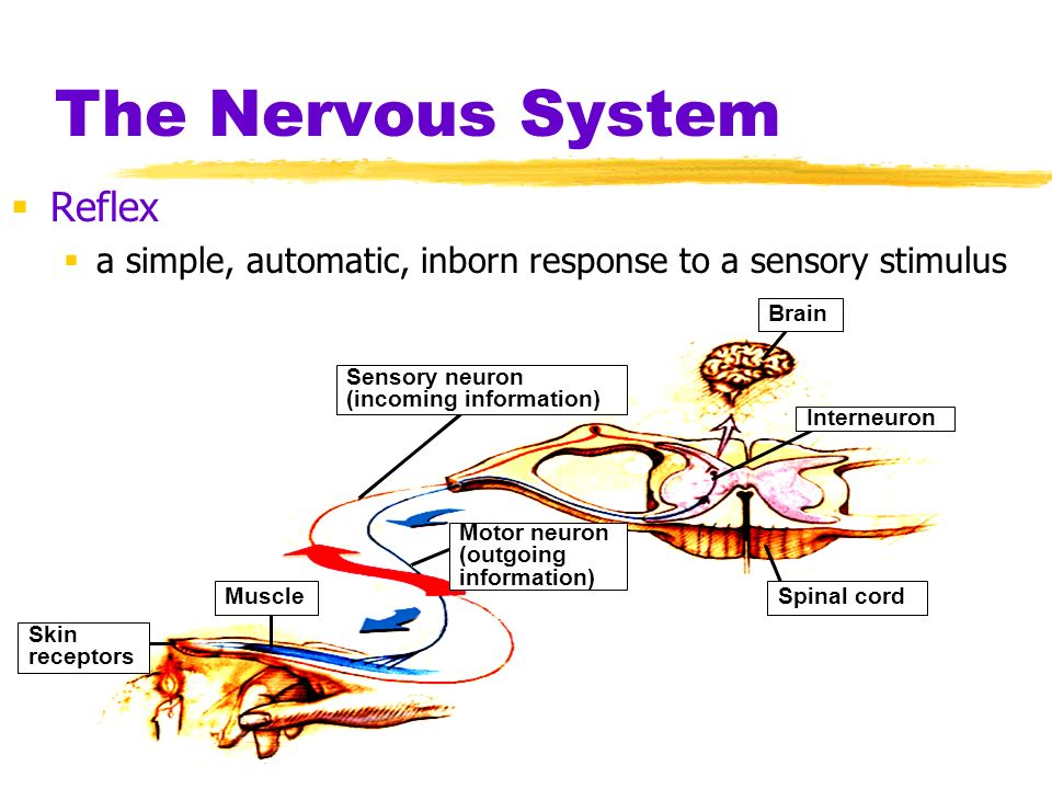 The Nervous System Reflex a simple, automatic, inborn response to a sensory stimulus Skin receptors Muscle Sensory neuron (incoming information) Motor