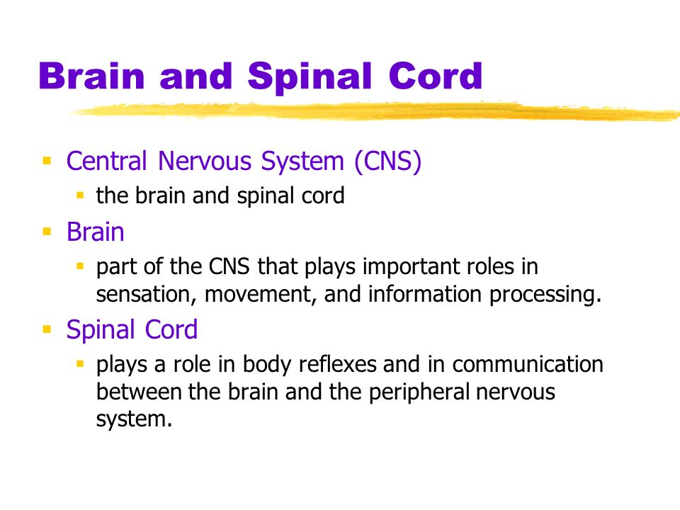 Brain and Spinal Cord Central Nervous System (CNS) the brain and spinal cord Brain part of the CNS that plays important roles in sensation, movement,