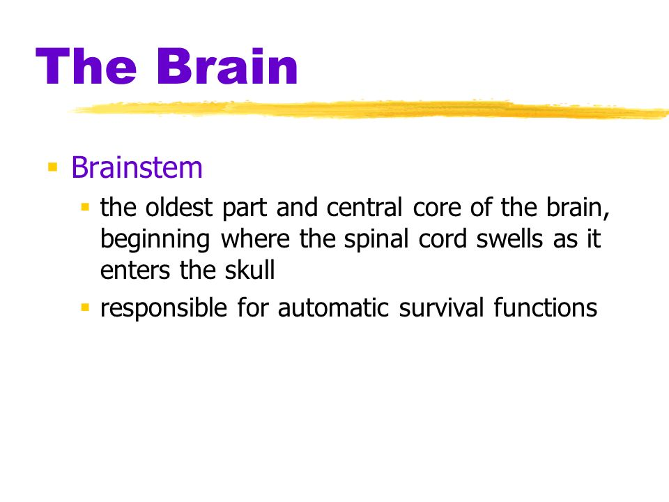 The Brain Brainstem the oldest part and central core of the brain, beginning where the spinal cord swells as it enters the skull responsible for autom
