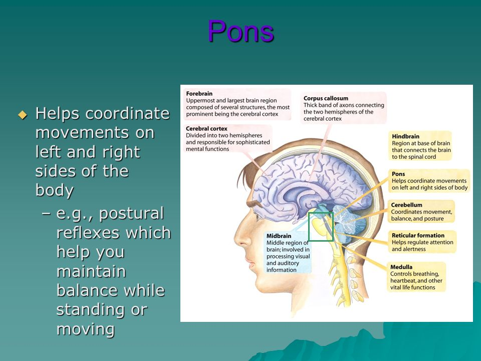 Pons Helps coordinate movements on left and right sides of the body Helps coordinate movements on left and right sides of the body –e.g., postural ref