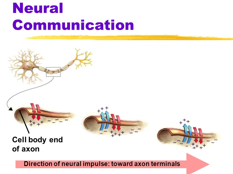 Neural Communication Cell body end of axon Direction of neural impulse: toward axon terminals