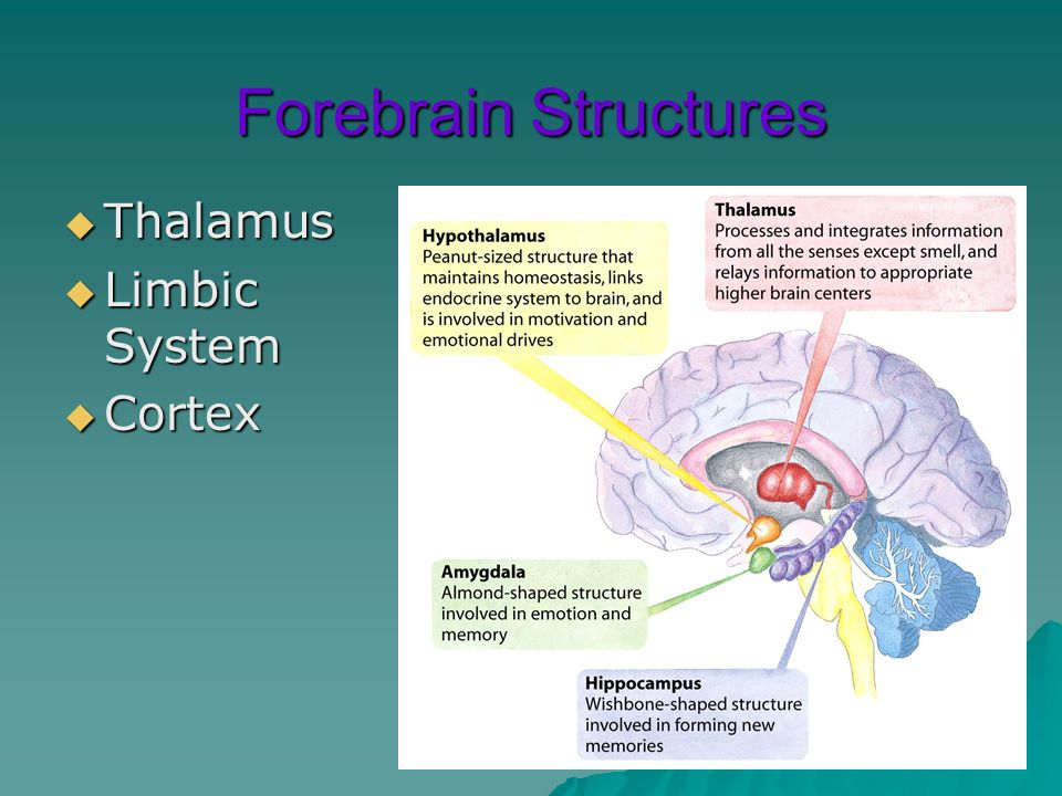 Forebrain Structures Thalamus Thalamus Limbic System Limbic System Cortex Cortex