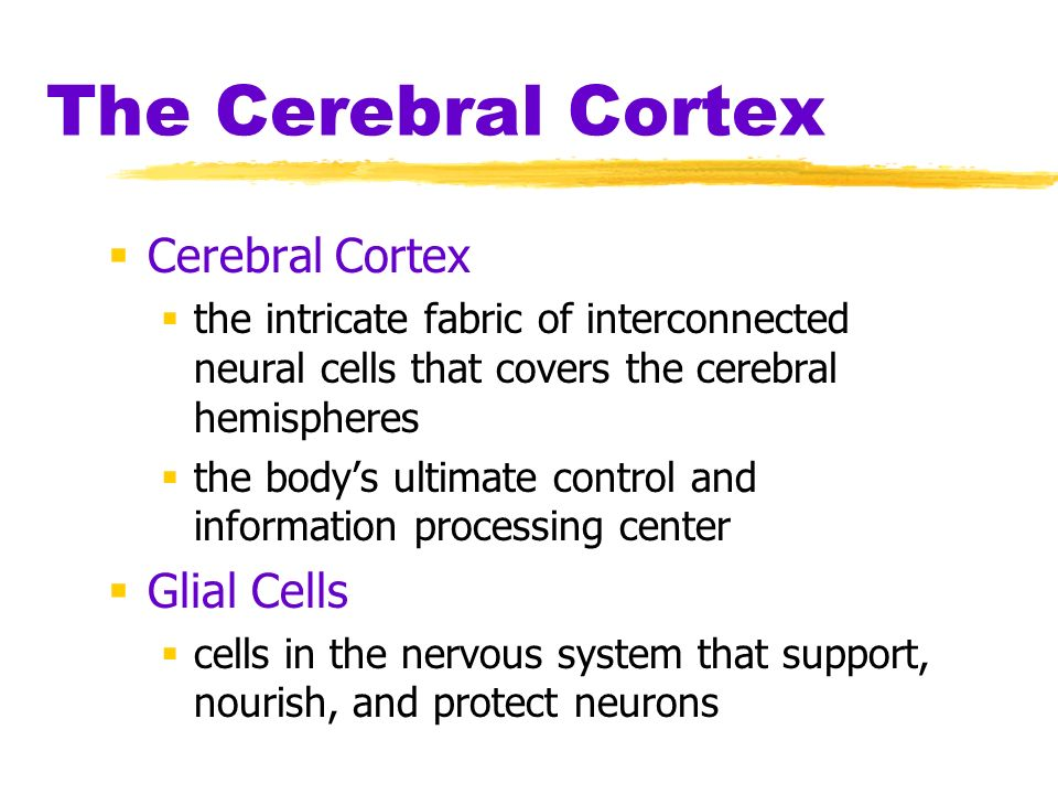 The Cerebral Cortex Cerebral Cortex the intricate fabric of interconnected neural cells that covers the cerebral hemispheres the bodys ultimate contro