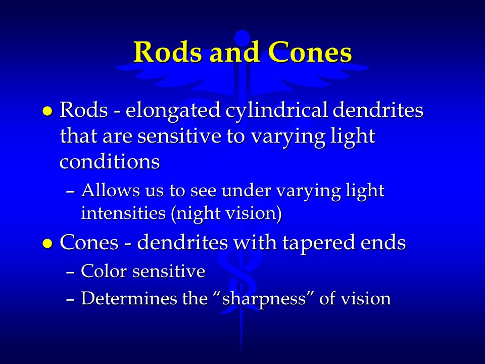 Rods and Cones l Rods - elongated cylindrical dendrites that are sensitive to varying light conditions –Allows us to see under varying light intensiti