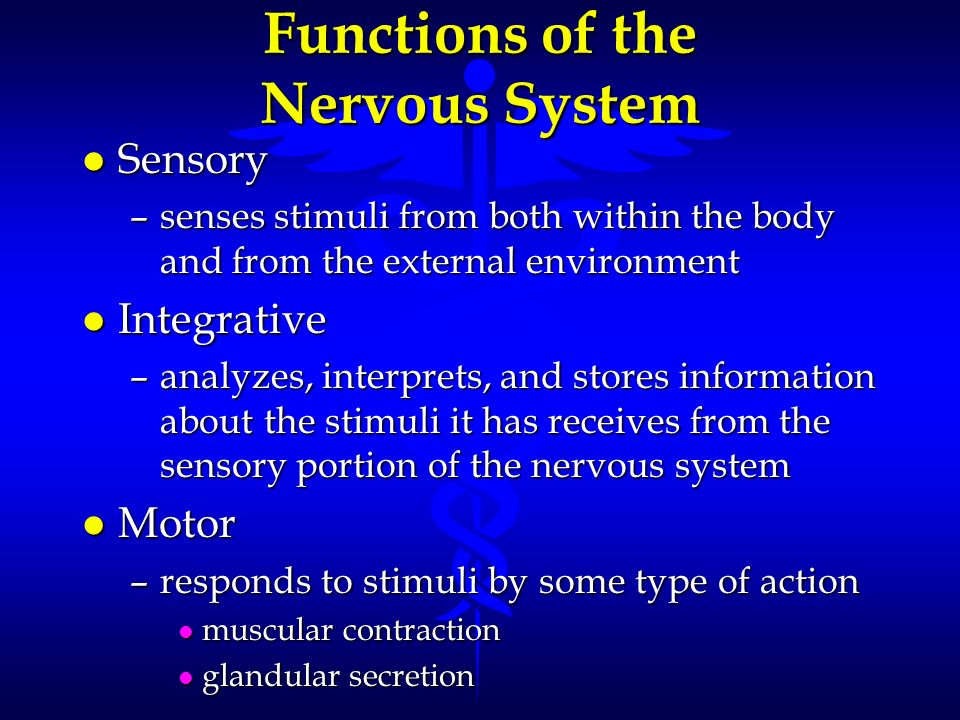 Functions of the Nervous System l Sensory –senses stimuli from both within the body and from the external environment l Integrative –analyzes, interpr