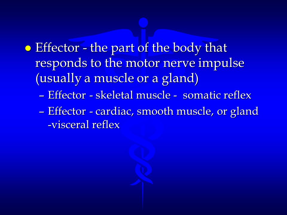 l Effector - the part of the body that responds to the motor nerve impulse (usually a muscle or a gland) –Effector - skeletal muscle - somatic reflex