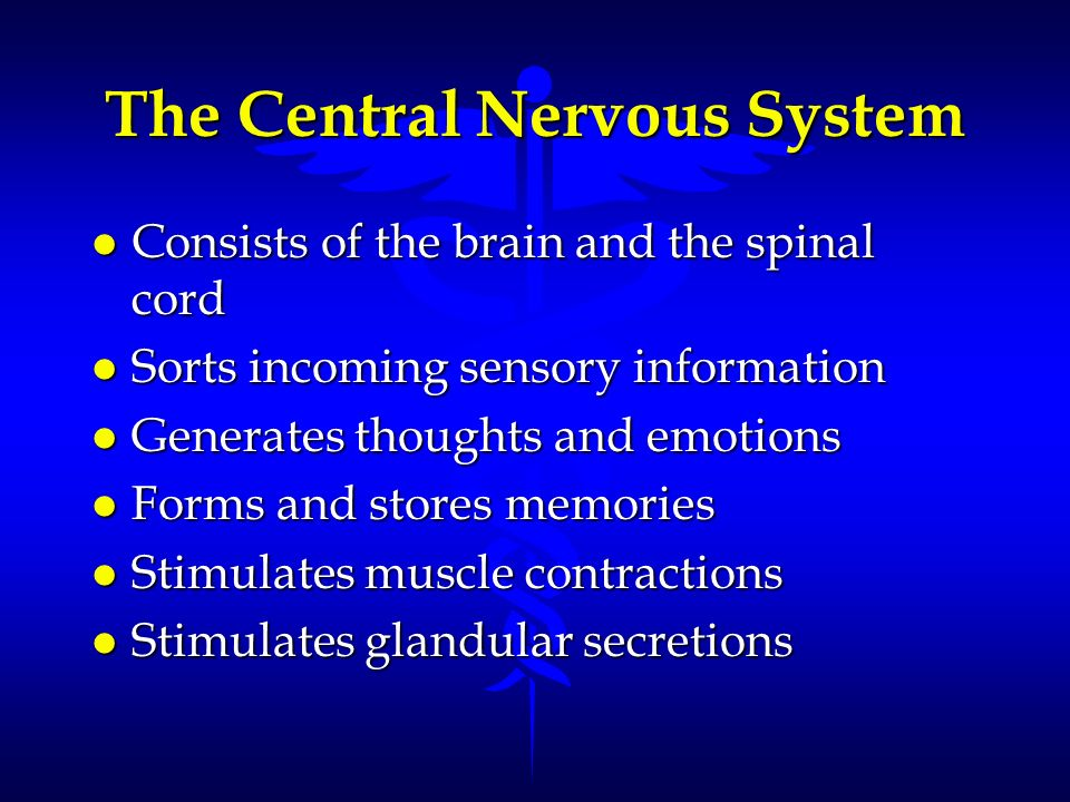 The Central Nervous System l Consists of the brain and the spinal cord l Sorts incoming sensory information l Generates thoughts and emotions l Forms