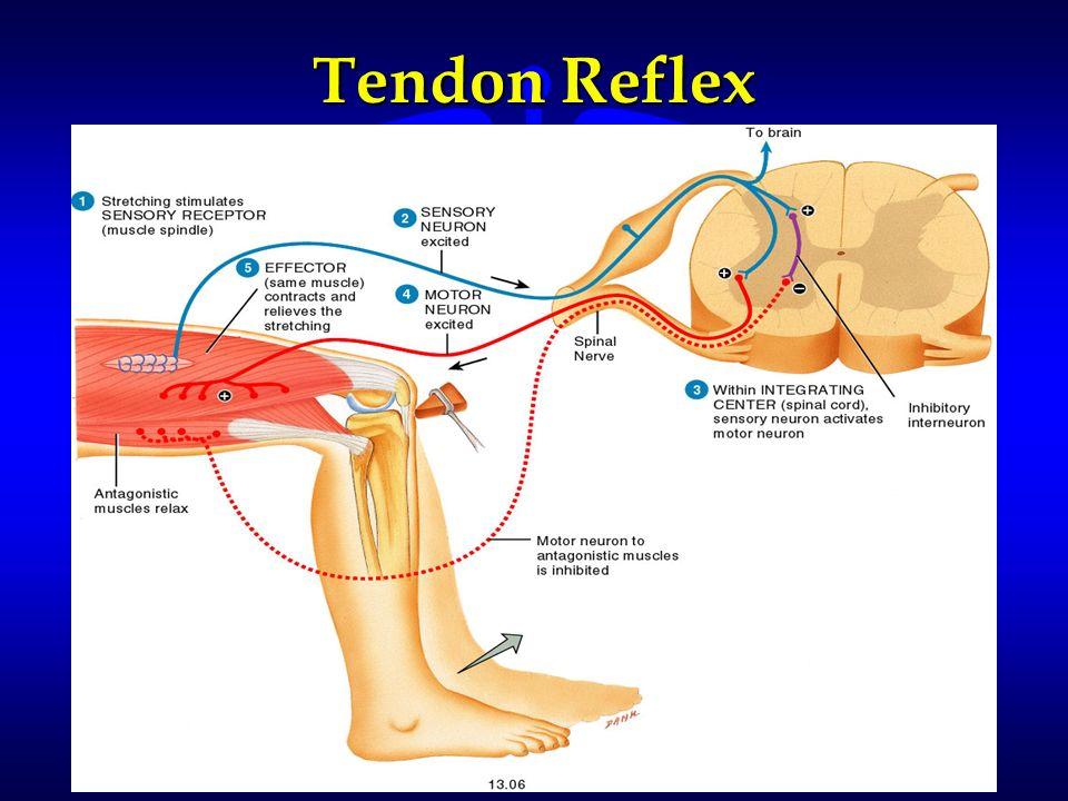 Tendon Reflex