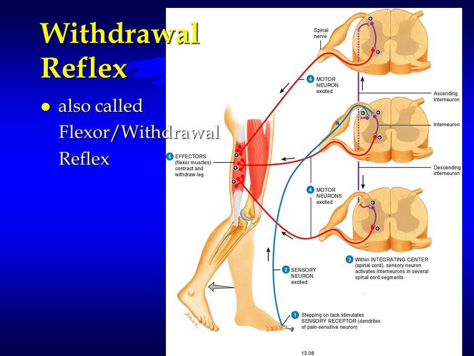 Withdrawal Reflex l also called Flexor/Withdrawal Flexor/Withdrawal Reflex Reflex
