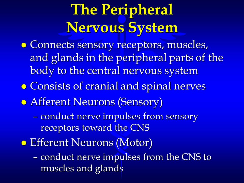 The Peripheral Nervous System l Connects sensory receptors, muscles, and glands in the peripheral parts of the body to the central nervous system l Co