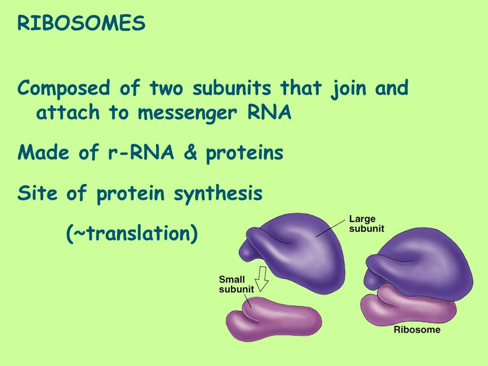 RIBOSOMES Composed of two subunits that join and attach to messenger RNA Made of r-RNA & proteins Site of protein synthesis (~translation)