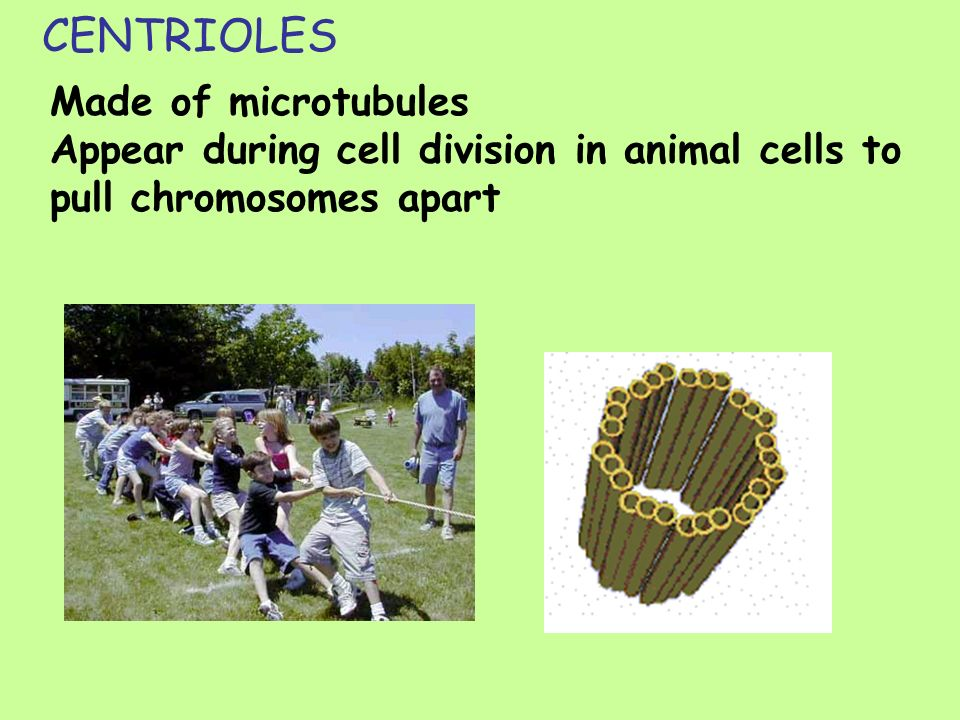 CENTRIOLES Made of microtubules Appear during cell division in animal cells to pull chromosomes apart