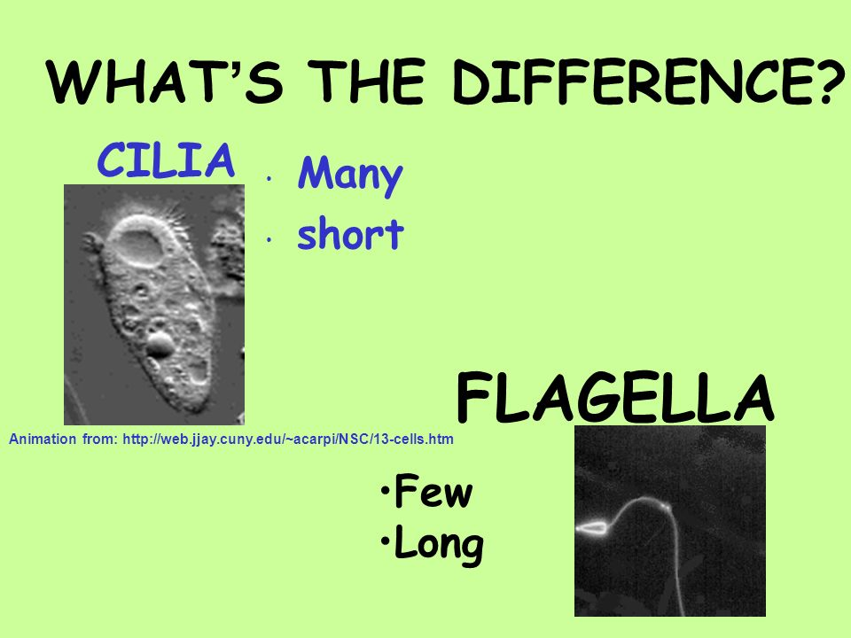 CILIA Many short FLAGELLA Few Long WHATS THE DIFFERENCE? Animation from: http://web.jjay.cuny.edu/~acarpi/NSC/13-cells.htm