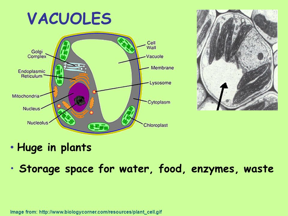 VACUOLES Huge in plants Storage space for water, food, enzymes, waste Image from: http://www.biologycorner.com/resources/plant_cell.gif