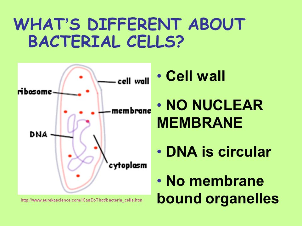 WHATS DIFFERENT ABOUT BACTERIAL CELLS? Cell wall NO NUCLEAR MEMBRANE DNA is circular No membrane bound organelles http://www.eurekascience.com/ICanDoT
